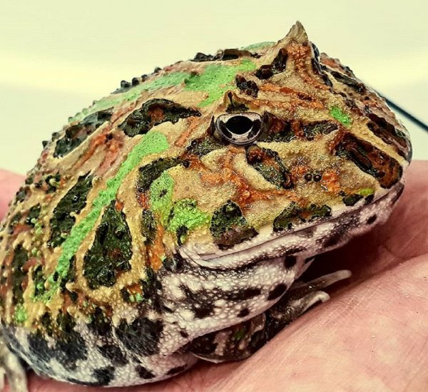 В реке Меконг обнаружили рогатую жабу и сома-блина