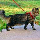 Ученые рассказали, как прогулка на поводке продлевает жизнь котов