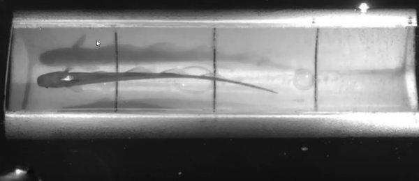 Ученые провели эксперимент над рыбами в резервуаре дополненной реальности