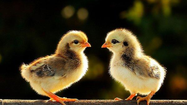 Создатели овечки Долли планируют вырастить цыплят, устойчивых к гриппу
