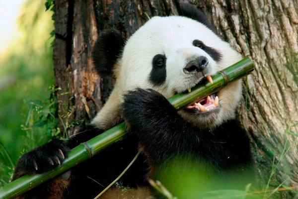 Ученые выявили хищное происхождение предков больших панд