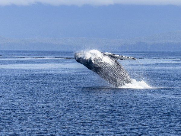 Новорожденный детеныш горбатого кита стал звездой соцсетей