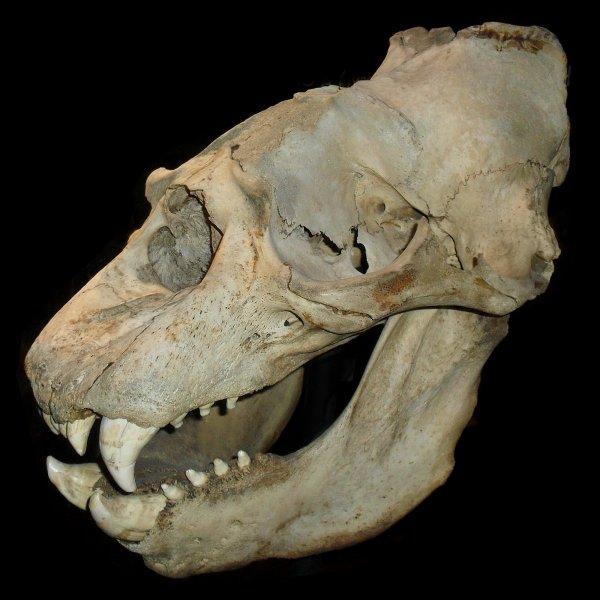 Доисторический «людоед»: найдены кости крупнейшего древнего хищника