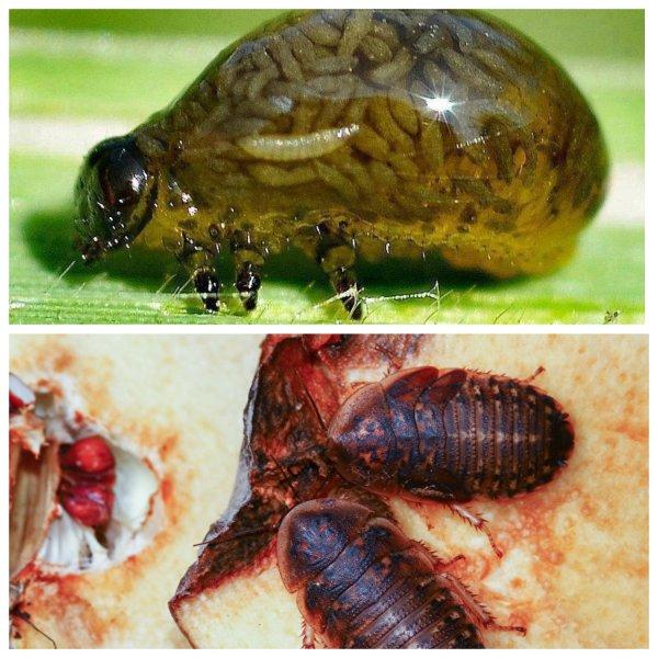 Страшная кончина: названы 5 паразитов, которые уничтожают своих «хозяев» изнутри