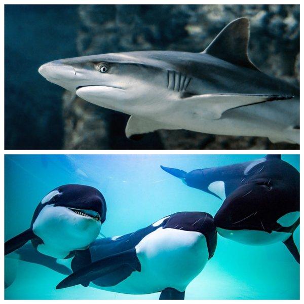 Хищники спасаются бегством: белые акулы при виде косаток испытывают страх