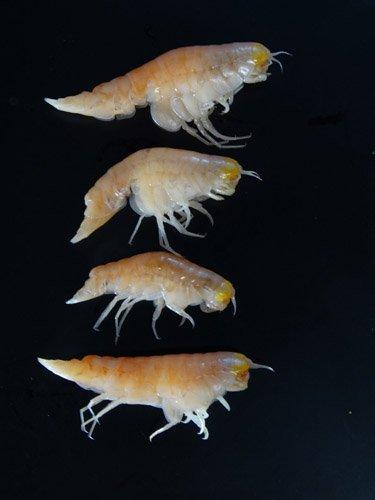 Биологи обнаружили новый вид креветок с «алюминиевым панцирем»
