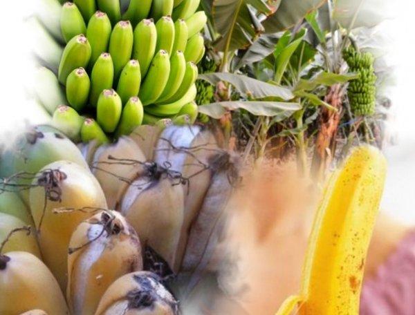 Причина банановой болезни: за 40 лет климат изменился в худшую сторону — учёные