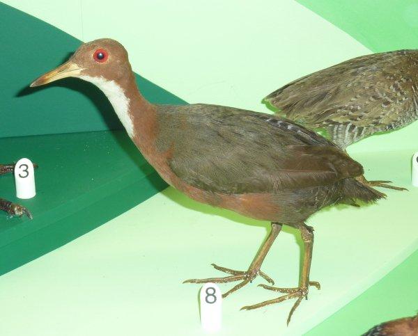 Какой сейчас год? Птица, вымершая 136 тысяч лет назад, снова возродилась