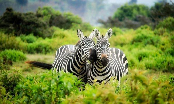 Учёные выяснили, почему зебры полосатые
