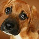«Собачья фишка». Учёные нашли объяснение щенячьему взгляду животного
