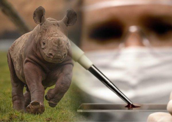 Детёныш носорога из пробирки спасёт вымерший вид — учёные