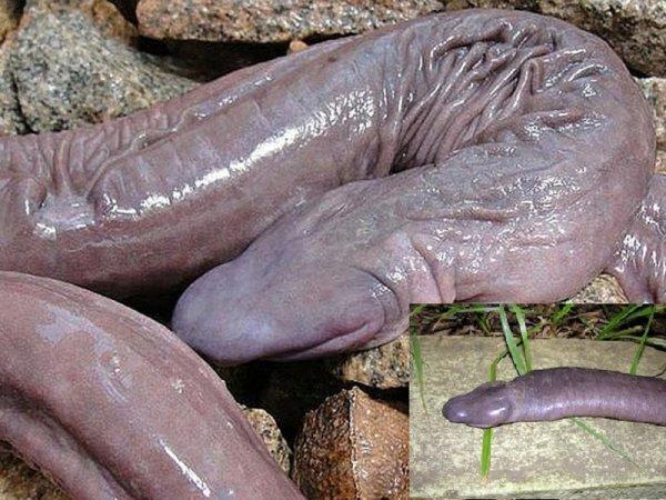 Лунный червь упал в Чёрное море: Слепую 6-метровую тварь нашли в Ялте