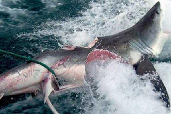 В Приморье засекли мегачервя: 8-метровая тварь атаковала акулу