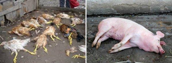 «Рогатый чёрт беснуется»: Минотавр-свиношлёп терроризирует деревню Бараниха