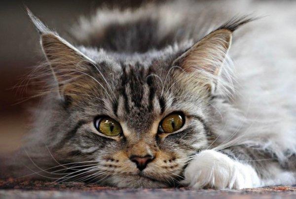 Кошка помурчи немножко. Эзотерик рассказал, как кошки притягивают в дому удачу