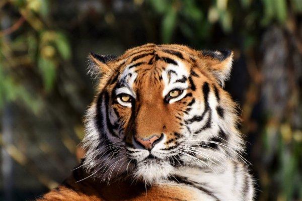 Тигр любит до конца: Главное достоинство рождённых в год Тигра назвал астролог