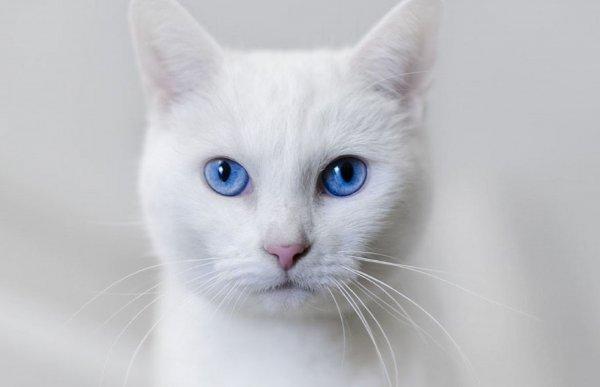 Без кота и жизнь не та: Голубоглазая кошка принесёт удачу хозяевам