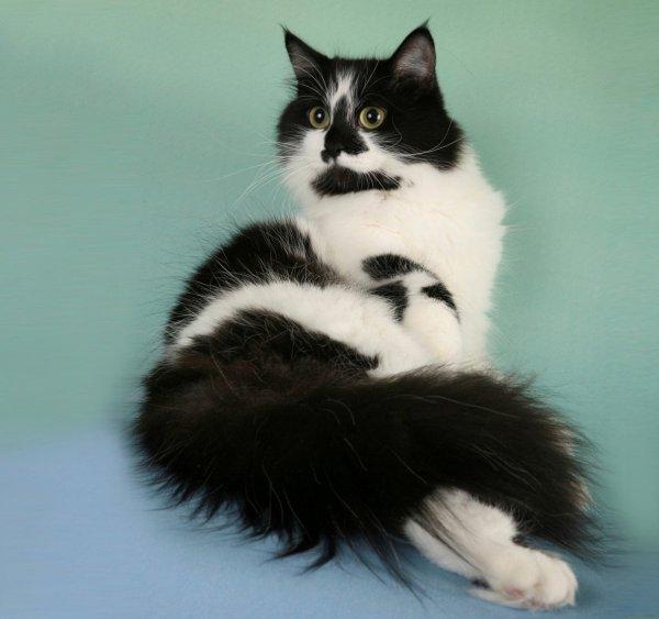Двойное счастье: Двухцветная кошка принесёт гармонию в дом