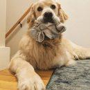 Сутулый пёс носки унёс: Почему собаки прячут вещи хозяина, рассказал эзотерик