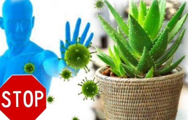 СТОП вирус: Комнатные цветы укрепят иммунитет человека
