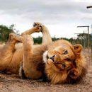 Львам придется «глодать кости»: Зато останутся сытыми и довольными в выходные