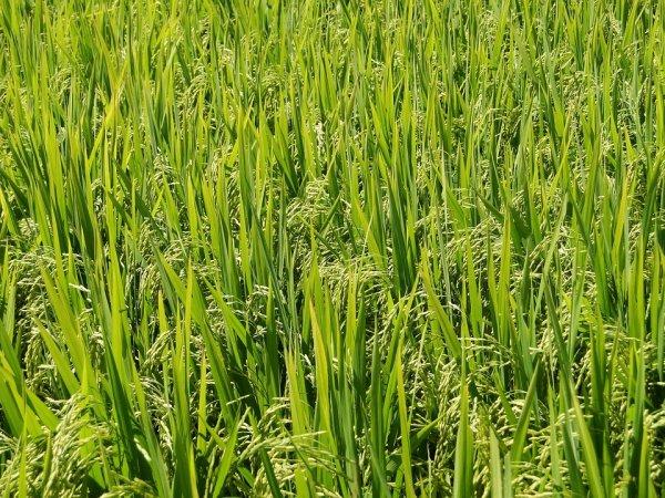 Ученые рассказали, как глобальное похолодание повлияло на распространение риса