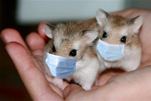 Эксперименты на хомяках доказали, что медицинские маски защищают от коронавируса