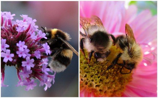 Голодные шмели вызывают стресс у растений, что приводит к всплеску цветения