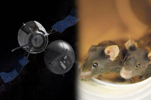 Россия планирует отправить 20 мышей на высоту до 200 тысяч км