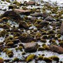 Загадка мигрирующих «ледниковых мышей» раскрыта