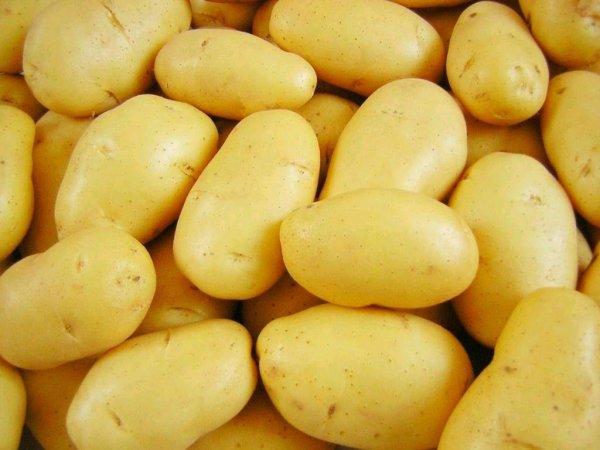 В Голландии роботы создали сорт устойчивого к грибкам и Y-вирусу картофеля