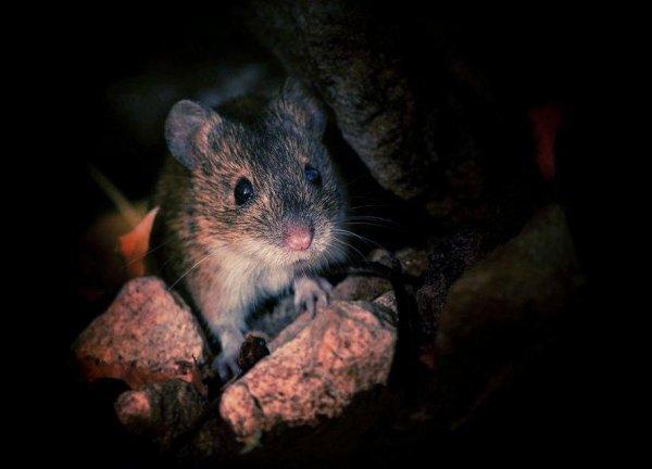 Ночное освещение способно вызвать у мышей депрессию