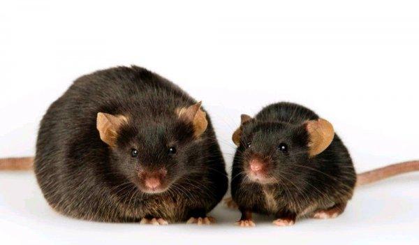Белок BAM15 помог мышам похудеть без диеты