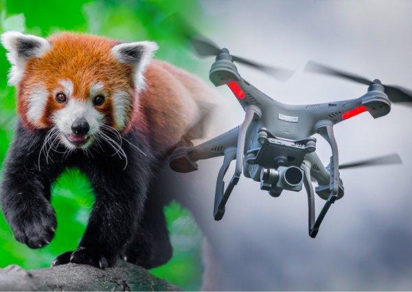 За исчезающими пандами будут следить дроны и GPS