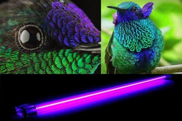 Колибри способны видеть ультрафиолетовые лучи