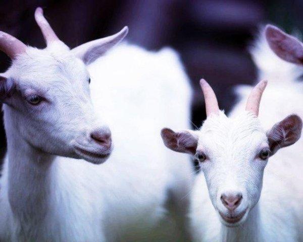 Молоко генномодифицированных коз может стать лекарством от рака